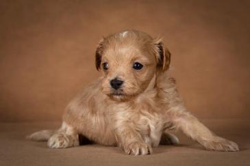 orphei-maltipoo-dog-04