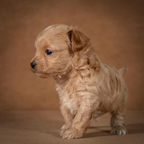 orphei-maltipoo-dog-11