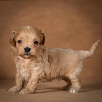 orphei-maltipoo-dog-14
