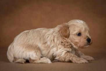 ostap-maltipoo-dog-04