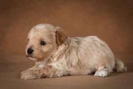 ostap-maltipoo-dog-09