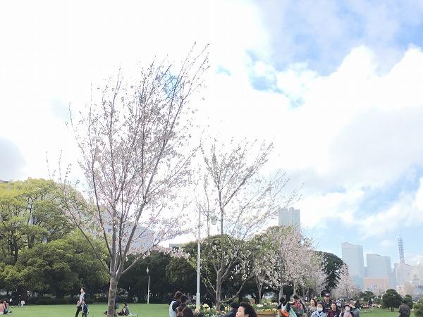 山下公園芝生広場の桜