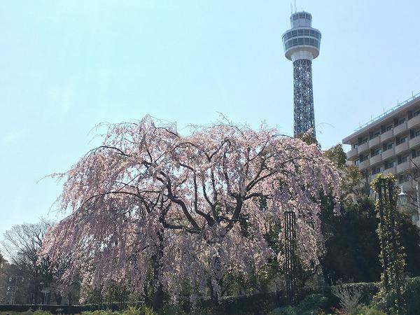 山下公園枝垂桜
