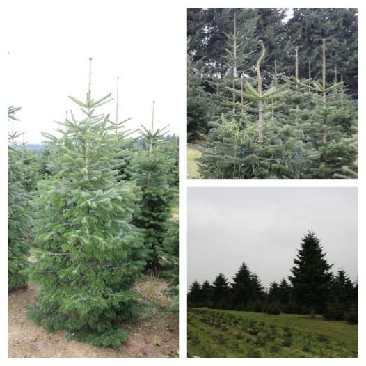 Weihnachtsbaum selbst schlagen