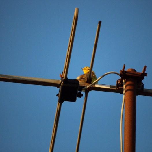 Antenne vogel
