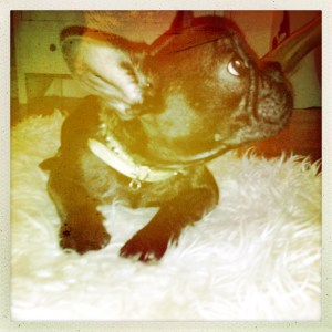 cute frenchie posing. polaroid picture of frenchie.