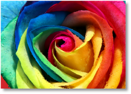 Colourful Intuitive Rose