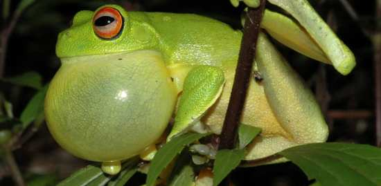 A-Red-eyed-Tree-Frog