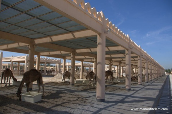 Janabiya-Royal-Camel-Farm-Bahrain-2.jpg