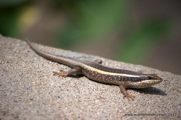 Lizard, Tarangire National Park, Tanzania