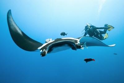 manta and diver