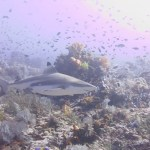 Blacktip reef shark at Tatawa Besar