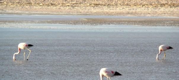 Deserto do Atacma, Chile, flamingos
