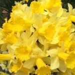 More lovely Daffodils in!