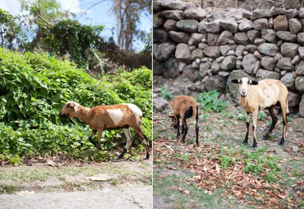 Nevis Goat