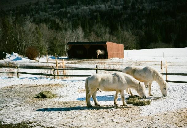 Icelandic Horse Farm Vermont