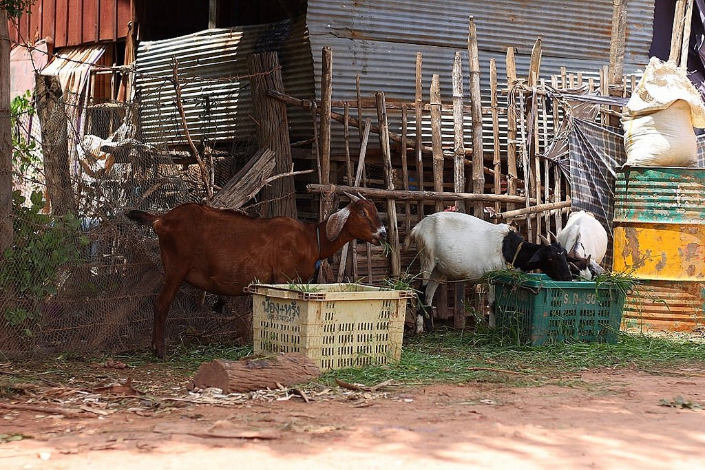 battambang, goats, muslim fishing village, cambodia