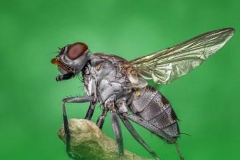 mosca 2