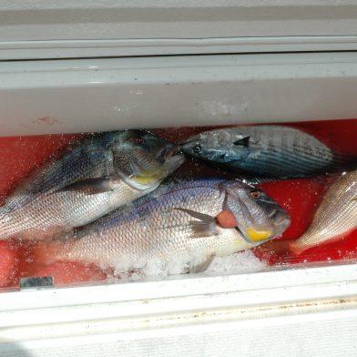 Una bellissima pescata a traina con il vivo