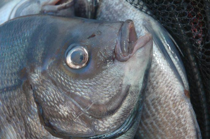 I grossi maschi si mescolano alle femmine in grossi branchi sulle secche isolate dalla riva
