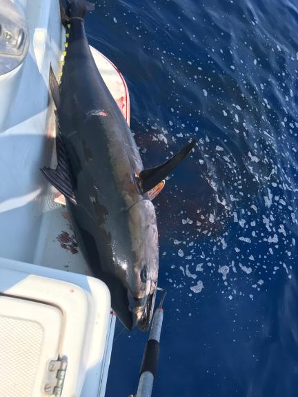 un bel tonno rosso appena catturato