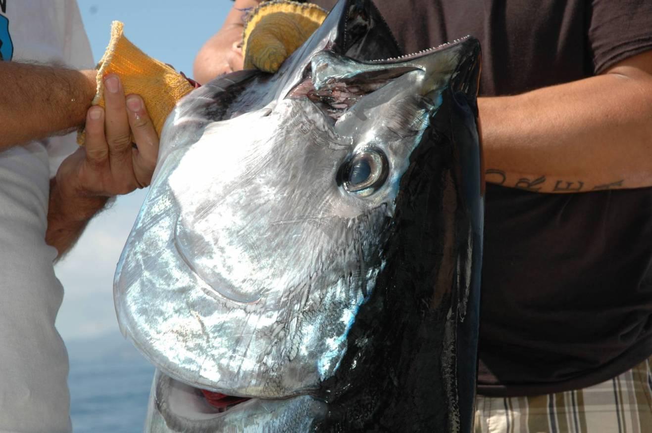 Un bell'esemplare di tonno rosso catturato nel periodo estivo