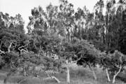 Oak Stand, Elkhorn Slough, Moss Landing, CA