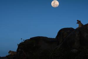 full Lionesses-on-Kopie-at-dusk-with-full-moon-rising-Seronera-Serengeti-Tanzania wild encounters