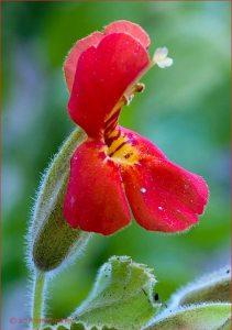 Scarlet Monkey Flower - Reprodução