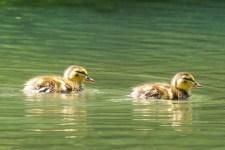 Pair-a-ducks