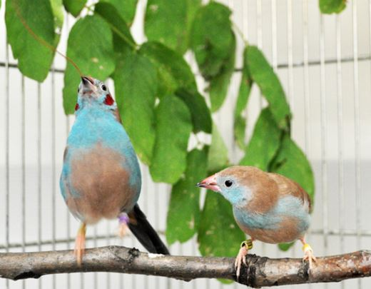 Songbirds tap dance to impress potential mates