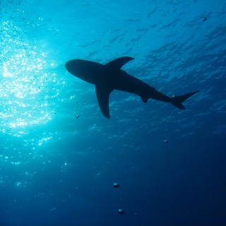A shark, silhouetted from below