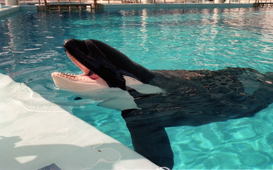 Tilikum Has Died, But There's Still Much We Can Do to Save Other Orcas