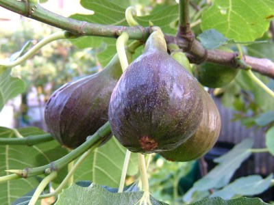 At Home With Vivian: Figs