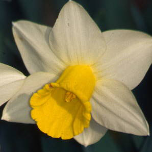 Dvision 1 Trumpet daffodil - Bravoure