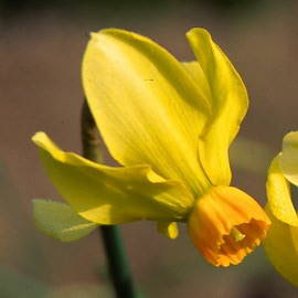 Division 6 Cyclamineus daffodil - Itzim