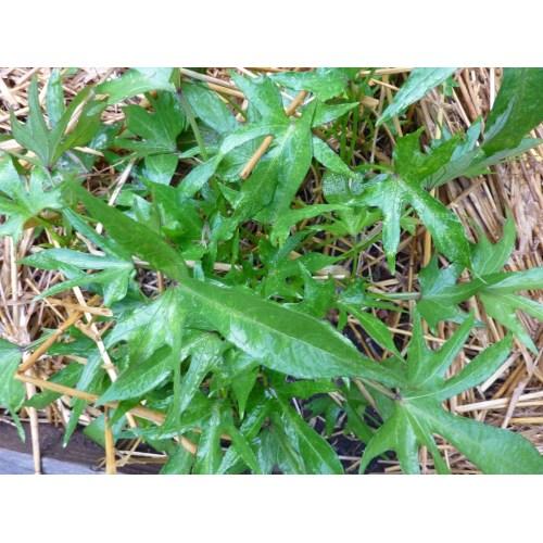 Medium Crop Of Sweet Potato Leaves