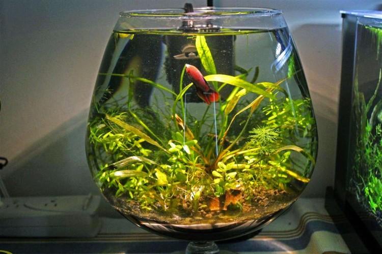 Ternak Perawatan Dan Cara Budidaya Ikan Hias Habitat Ikan Guppy