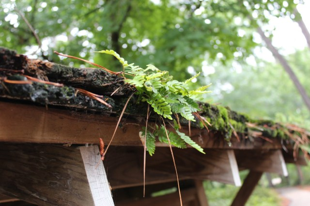A native fern grows on one of the structure in the Mast Arboretum