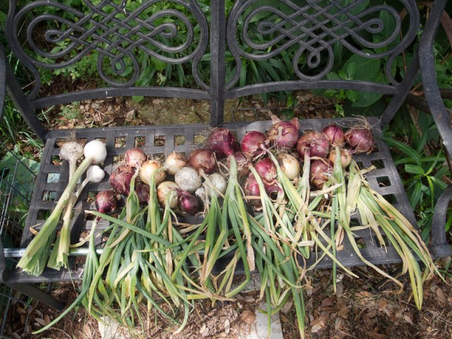 Onions and garlic drying on a bench in the shade.  Photo by Bruce Leander