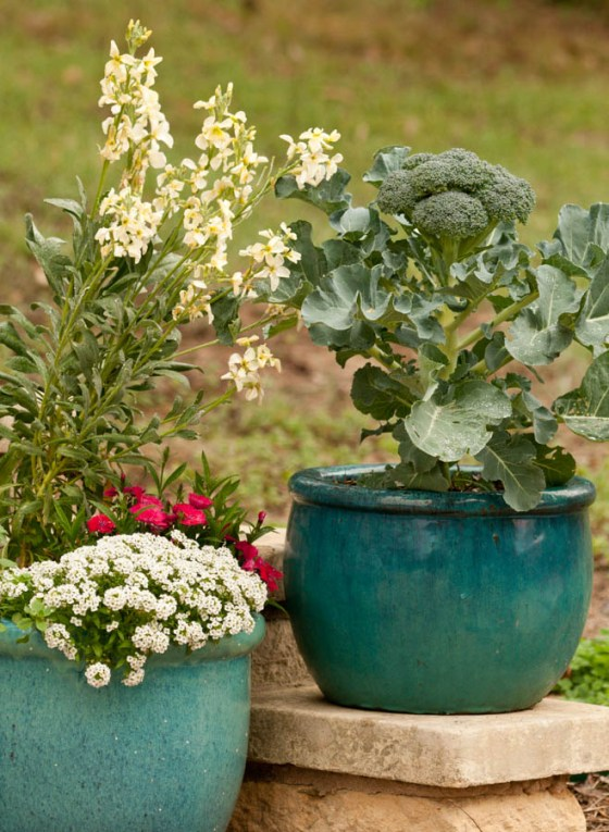 'Blue Wind' broccoli grows happily in a large pot