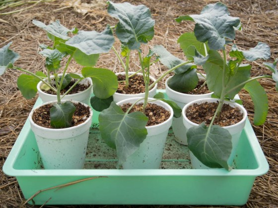 Home-grown broccoli transplants ready to be set out into the garden