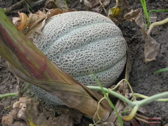 A beautiful cantelope grows among the corn in the H.O.P.E. community garden.