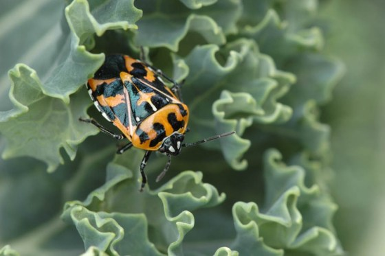 Adult Harlequin Bug in curly kale.  All photos in the post by Bruce Leander