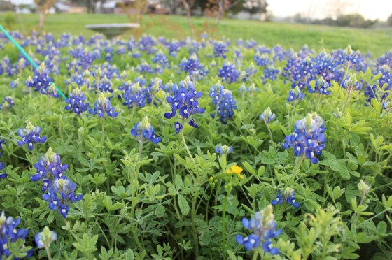 Some of my wife's bluebonnets.  Sally has worked for years to spread our state flower all over our yard.
