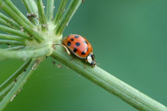 Ladybug-dill
