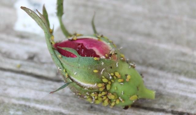 aphid-rose-2