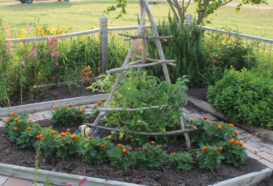 tomato-marigold-companion-planting