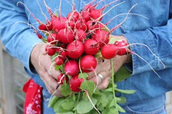 radish-harvest-1