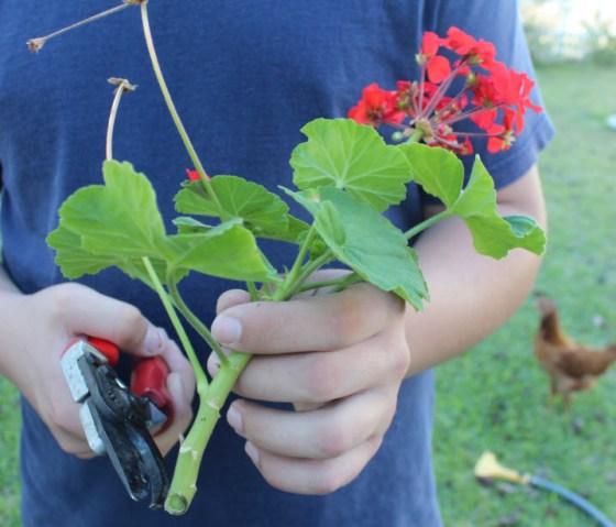 geranium-cuttings-1